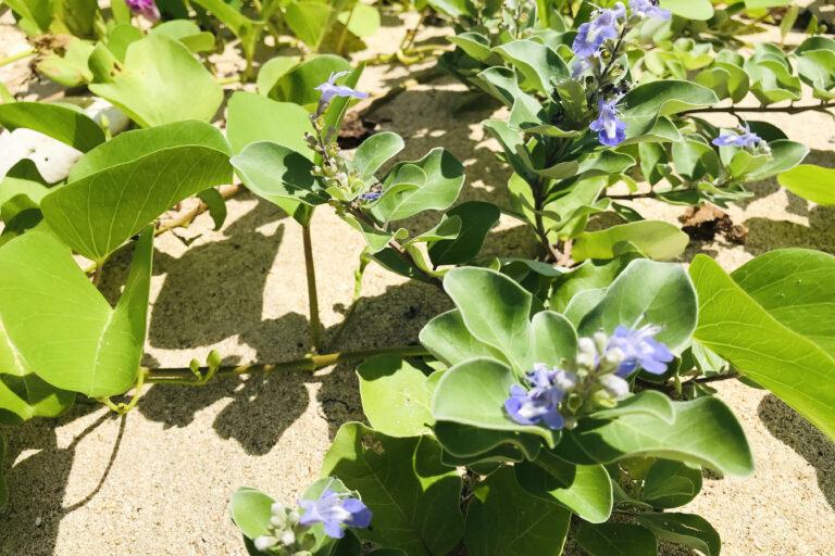 ビーチに咲く花