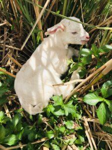 集落を散歩すればヤギに出会うことも